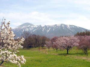 八幡平マウンテンホテル(旧八幡平リゾートホテル):【県民の森(春)】県民の森では岩手山をバックに、約500本ものオオヤマザクラを楽しむことができます。