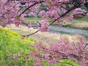 南伊豆町に咲く河津桜、見頃は2月中旬~3月初旬ぐらい