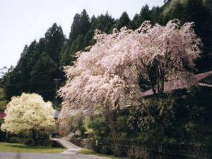 癒しの里小又川バンガロー:近くの公園の桜
