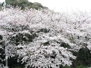 熱川ハイツ:ホテル敷地内桜