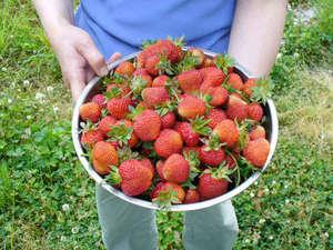 リフォレ積丹ユースホステル:5月のアスパラ・ニラ、6月のイチゴから10月のニンジンまで季節の野菜や果物が食卓に上がります。