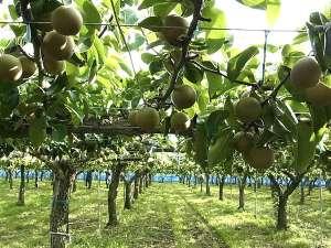 イセヤINN徳島:【イセヤリゾート梨園】8月から梨狩りが楽しめます。(有料)