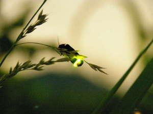 猿ヶ京温泉 生寿苑(しょうじゅえん):昨年6月18日に生寿苑の庭園にてヘイケホタルを30数匹ほどを確認。例年6月20日~7月10日頃まで※イメージ