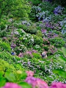 ホテル マルセイユ:毎年6月の一ヶ月間開催される紫陽花祭り