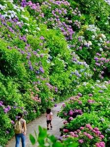 ホテル マルセイユ:紫陽花祭り開催中