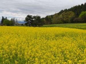 カナディアンログコテージTAKITARO:山麓に広がる菜の花畑