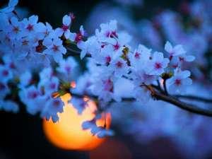 三朝温泉自家源泉かけ流し露天風呂 清流荘:夜桜♪