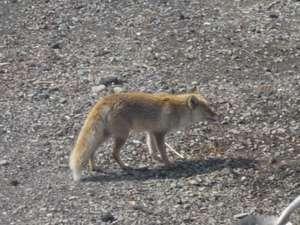 バラギ高原の宿 ホワイトドリーム:キツネの散歩
