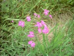 室蘭ユースホステル:かわらなでしこが咲き誇っています。7月