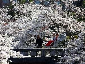 星野リゾート 界 出雲:【お花見人力車】期間限定で界出雲に登場!400本の桜が咲き誇る土手を情緒豊かな人力車で巡る贅沢体験