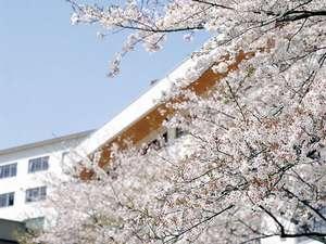 飛騨川沿いの桜並木(4月上旬~中旬が見ごろ)