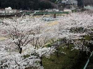 下呂温泉山形屋の下の河川敷の桜並木