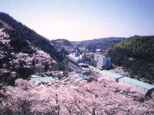 <春>奥道後は桜の名所の一つ。周辺の山々や園内の桜全て合わせて、なんと3,000本の桜が咲き誇ります。