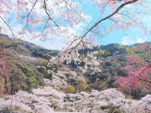 【景観ベスト3】*春*奥道後周辺の桜は全部で約3,000本!花見にもってこい!