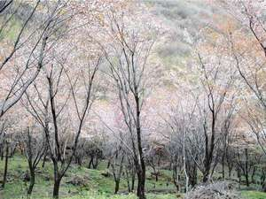 自然を五感で楽しむリゾートホテル レゾネイトクラブくじゅう:約3000本の山桜見頃は4月中旬~下旬