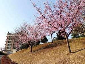 玄関までの道路右手に咲く河津桜