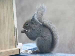 秋・冬、リスがエサを食べにテラスへ。運が良ければ会えるかも?
