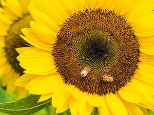 【ひまわり】ひまわりの花言葉は『あなただけを見つめる』♪夏だけの景色をお楽しみください。
