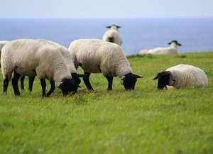 磯乃屋:島の南側にひろがる羊牧場