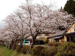 奥山鹿温泉旅館:館内の桜が見頃です!ぜひお越しください♪花見露天もできます★