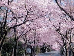 温泉民宿こまどり荘:伊豆高原の桜のトンネル☆桜祭りは3月上旬から4月の上旬まで次々に咲き続きます。