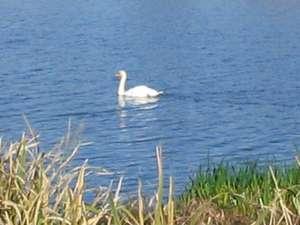 ビジネス旅館 吉川:多々良沼で、冬は白鳥をご覧いただけます。