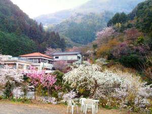 春の桜の時期には山々が一面に色づきます。。