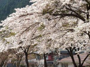 波賀不動滝公園 楓香荘:館周りに見事に咲く桜。兵庫の高台にあるため、毎年、4月中旬頃~5月下旬頃まで開花します。