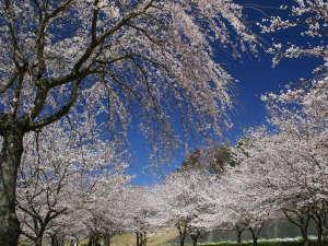 ホテルラフォーレ修善寺:敷地内(春)