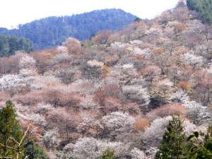 世界遺産 吉野山 眺望風呂と桜の宿 一休庵:日本一の桜の名所として知られる吉野山☆世界遺産にも認定されています!