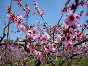湯和み 別館 石和常磐ホテル:「桃源郷」4月上旬から中旬にかけて桃の花が咲き誇り、辺り一面がピンク色に染まる絶景を楽しめます!