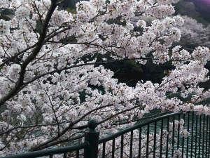 もみじ川温泉:【もみじ川温泉周辺のさくら】川沿いに美しい桜を見ることができます。