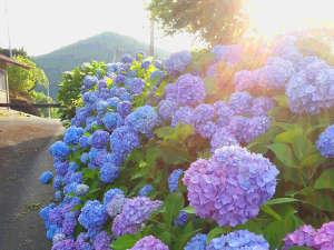 もみじ川温泉:*約1万株のあじさいが各所に植えられています♪(あいあいらんど…当館より徒歩17分)