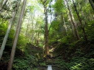 大きな一本杉。一條の歴史を見守ってきた、森の番人。凛とした空気が伝わる。