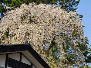 ホテル敷地内枝垂れ桜