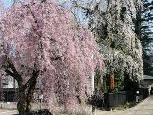 武家屋敷ホテル横駐車場に咲く角館で一番紅い紅枝垂れ桜とホテル敷地内の枝垂れ桜のコントラストを写真に