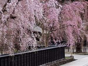 角館の町を染める樹齢数百年の枝垂れ桜。ここでしか見れない風景が、ここにある