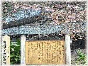 河津さくら原木の写真  河津桜まつり毎年2月上旬~