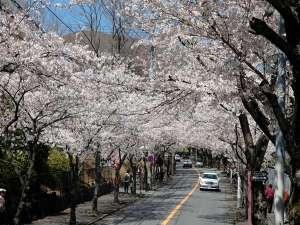 伊豆高原 桜並木 約2キロ続くトンネルです。