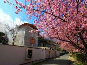 河内屋  源泉かけ流し100%の湯宿:当館より徒歩?分。真裏の桜並木は5kに渡ります。河津桜はみなみの方が美しい
