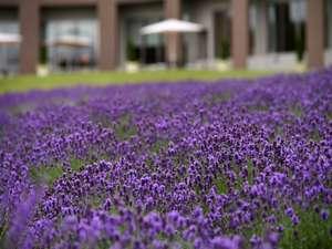 ホテル敷地内には約5,000株ものラベンダーが咲きます