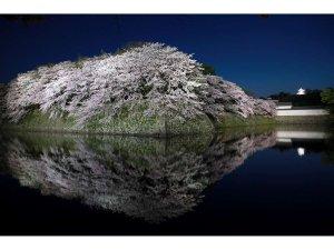 ホテル前よりみる夜桜と彦根城天守