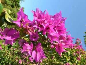 沖縄でよく見られる花であるブーゲンビリア