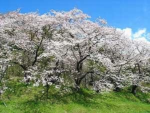狩野川さくら公園。見事な桜のトンネルは必見。車で約5分。