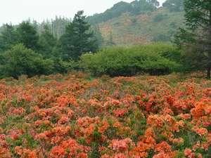 美ヶ原高原 雲上の一軒宿 王ヶ頭ホテル:6月中旬から 高原に一面に咲く「レンゲツツジ」
