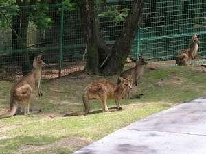 旭志温泉 四季の里 旭志 :四季の里動物園では、カンガルーが放し飼いにされていて、手から直接エサをあげられます。
