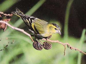 御池野鳥の森公園 御池キャンプ村:国指定の「野鳥の森」では貴重な旅鳥が目撃されることも!【野鳥】マヒワ