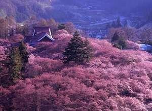 貸別荘 ネイチャービレッジ諏訪塩嶺:高遠さくら全国桜100選の名所