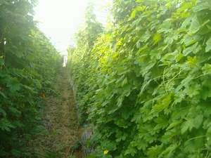 民宿ういづ:ういづのゴーヤーハウス (時期に合わせて、土と自然に触れる農業体験が出来ます)