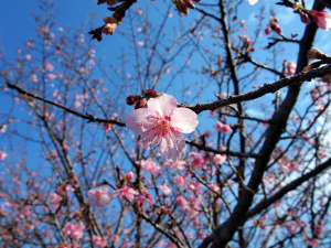北郷 音色香の季 合歓のはな:日南では桜の蕾が開き始めました♪